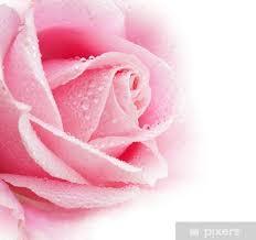 beautiful rose flower fridge sticker
