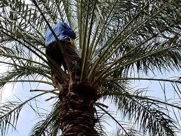 PHOTO Of Iran Bam Man Handpollinating Dates Palm Tree Male Iranian Fruit Trees