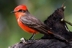 picture of red bird. Brilliant Red Vermilion Flycatcher To Picture Of Red Bird