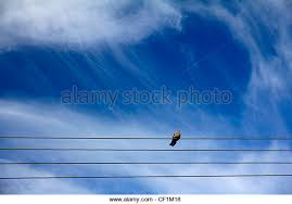 bird on a wire stock photos bird on a wire stock images alamy a dove perched on a telegraph wire in radley oxfordshire stock image