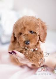 image result for tiny toy poodle rescue