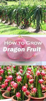 Best 25 Dragon Fruit Nutrition Ideas On Pinterest  Dragon Fruit How To Take Care Of Dragon Fruit Tree