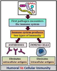 Immune System Cells Chart Difference Between Humoral And Cellular Immunity With
