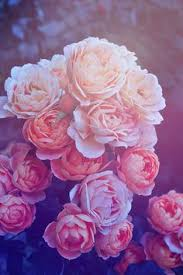 iphone 6 wallpaper pink flower. Exellent Flower Beautiful Pink Roses IPhone Wallpaper In Iphone 6 Flower P