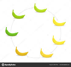 Round Banana Ripeness Stages Chart Circular Colour