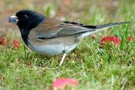 Verdin  Tiny Bird Not Much Bigger Than A Hummingbird Very Cute Backyard Bird Watch