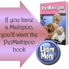 maltipoo grooming how to keep your