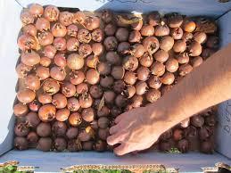 Apricot Trees Varieties Armenia  The Armenia Tree Project Plants Iranian Fruit Trees