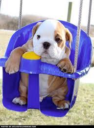 cute baby bulldog. Fine Cute Baby Bulldogs  Baby Bulldog In A Swing More With Cute Bulldog L