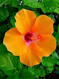 hibiscus flowers orange hibiscus hibiscus flowers and flower