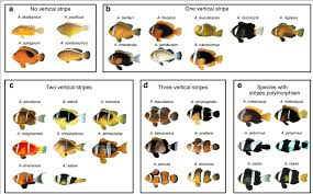 Clown Fish Identification Chart Adult Color Patterns Of Clownfish Species Pictures Of Adult