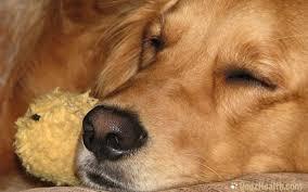 Canine Lymphoma Symptoms Lymphoma In Dogs Lymphosarcoma Symptoms Causes Treatment