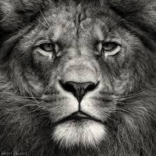 black and white lion portrait.  Black Black And White Lion Portrait BlackandwhiteLionPortrait Blackandwhite LionPortrait Throughout And White P