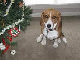 Beagle Life Expectancy Beagle Information Center