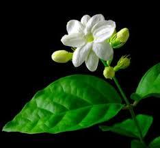 Manfaat Tersembunyi dari Bunga MELATI