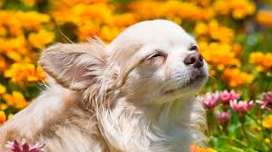 Blinking Lights For Dogs Symptoms And Causes Of Blepharospasm In Cats And Dogs