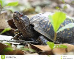 Focus Stacked Image Of An Eastern Box Turtle Among The