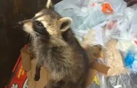Raccoons In Vending Machine Beauteous Raccoon Rescued From Dumpster RTM RightThisMinute