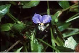 Plants Profile for Commelina communis (Asiatic dayflower)