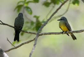 Image result for kansas kingdom kingbirds