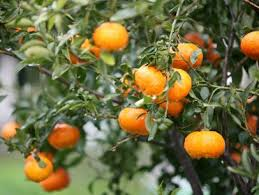 how to protect citrus trees from frost