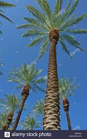 fan palm trees. palm trees california tree s ca fan palm, native arecaceae palmae palmaceae