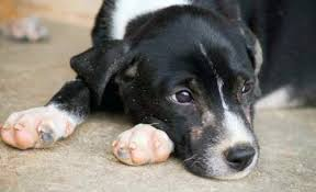 tylenol pain relief for dogs
