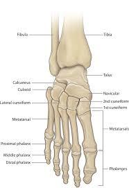 Ankle Bone Chart Ankle Foot Bones Diagram Wiring Diagram