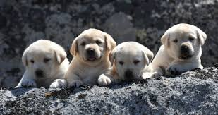 english yellow lab puppies.  Yellow Brody Puppies At 5 Weeks  Legacy Labradors BoulderCrest For English Yellow Lab S