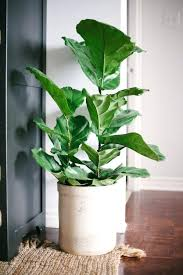 large house plants on great best leaf ideas black planters awesome indoor gallery interior design in
