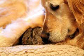 cute baby rabbits. golden retriever friends with baby bunnies cute rabbits