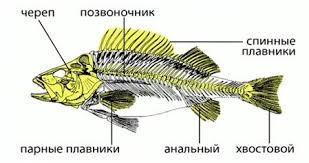 Биология класс Классы рыб Внутренний скелет рыб