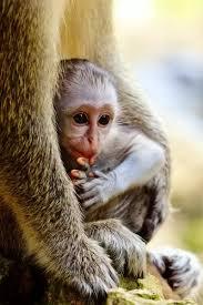 A1 84x59cm Poster Of Baby Monkey Portrait