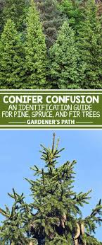 Tree Identification Chart The Best Pine Fir And Spruce Identification Guide