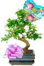 gorgeous mother s day bonsai gift outstanding mother s day bonsai gift set perfect for beginners s shaped oriental tea tree bonsai in ceramic bonsai pot