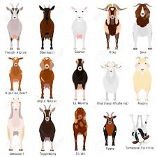 Goat Chart Goats Chart With Breeds Name