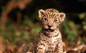 cute baby tigers wallpapers. Interesting Wallpapers Cute Baby Tiger Wallpaper And Tigers Wallpapers I