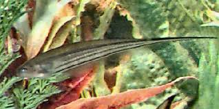 Black Ghost Knife Fish Compatibility Chart Glass Knifefish Eigenmannia Virescens Green Knifefish Guide