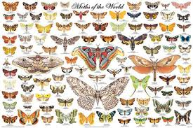 Moth Identification Chart 36 X 24 Moths Of The World Poster