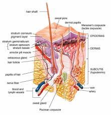 human physiology integumentary system   wikibooks  open books for    diagram of the layers of human skin