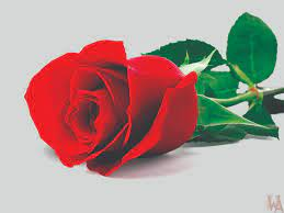 Red Rose Wallpaper HD Pictures Free ...