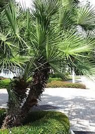 fan palm trees. european fan palm trees