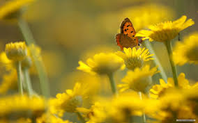 Wallpaper flower Wall Butterfly In Group Of Yellow Flowers Lifewire 21 Beautiful Flower Wallpapers