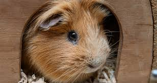 mon causes of guinea pig and