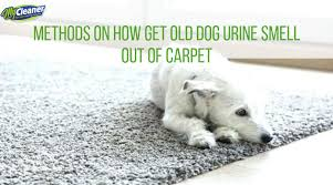 old dog urine smell out of carpet