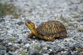 Image result for Eastern Box Turtle