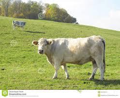 Light Livestock Beige Cow Stock Photo Image Of Light Livestock Animals