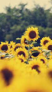 Beautiful Aesthetic Sunflower Wallpaper ...