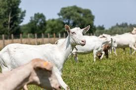Best Milk Goat Breed Pet Stuff Guide