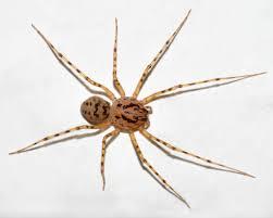 Spitting Spider Wikipedia